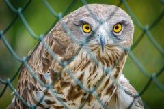 Kurzschluss ausgewichenes Eagle hinter Käfig Lizenzfreie Stockfotos
