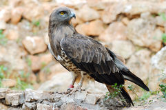 Kurzschluss toed Adler (Circaetus gallicus) Stockbild