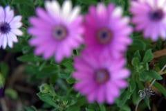 Kurzschlussvideo der rosa und weißen Blume stock video footage