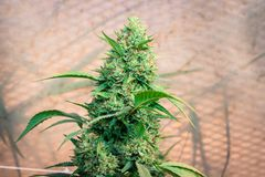 Kush Outdoor California Medical Marijuana cascer Fotografia Stock Libera da Diritti