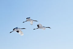 Kushiro japanese crane center Stock Photography