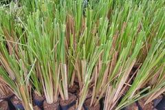 Kuskusgras-Gras Stockbilder
