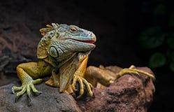 Kuslig drake - leguan Arkivfoto