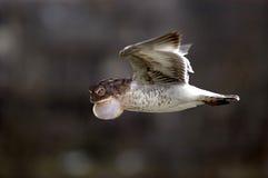 Kuslig grodafågel i flyg Royaltyfri Foto