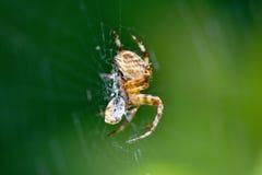 Kuslig trädgårds- spindel som slår in dess byte Royaltyfri Fotografi