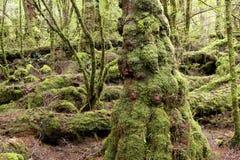 Kusliga crawly går i den Strathgordon nationalparken Tasmanien Royaltyfria Bilder