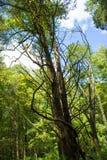 Kusligt dött träd Arkivfoto