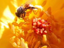 Kuss der Honigbiene Stockbild