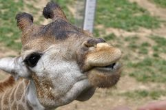 Kuss einer Giraffe Stockfoto