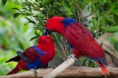 Kuss mit zwei Papageien - Wellensittiche Lizenzfreie Stockfotografie