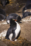 Kussende Rockhopper-Pinguïn Stock Afbeelding