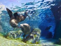 Kussende Zeeleeuwen Stock Afbeelding