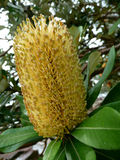 Kust- Bottlebrush Royaltyfri Foto