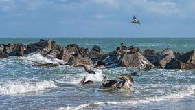 Kust Bruine Pelikanen Royalty-vrije Stock Afbeeldingen
