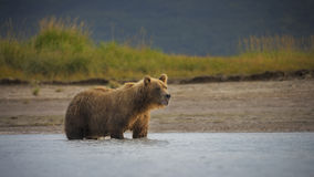 Kust- brunbjörn Royaltyfria Bilder