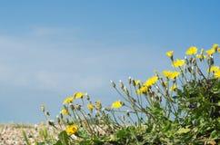 Kust- flora - maskrosor på Pebble Beach Arkivfoto