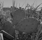 Kust- kaktusmonokrom för taggigt päron royaltyfria bilder
