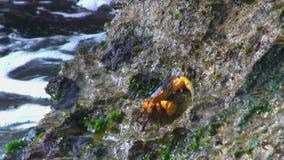 Kust met golven en een krab op rots stock footage