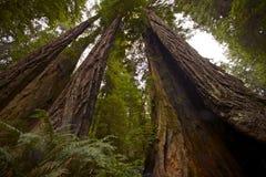 Kust- redwoodträdskog Arkivbild