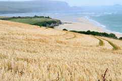 Kust- sikt som inkorporerar ett vetefält Arkivbild