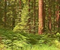kust- vibrerande fernsskogredwoodträd Royaltyfri Fotografi