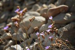 Kustbloemen met purpere blauwe bloesems op steenachtige achtergrond Stock Foto's