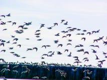Kustfåglar i flykten arkivbild