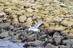 kustflyg över seagulls royaltyfria foton