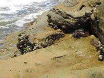 Kustkrabben in Rocky Tide Pools Areas van Zuidelijk Californië royalty-vrije stock afbeelding
