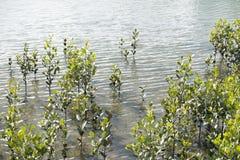 Kustmangroven in rivierestuarium Stock Afbeeldingen