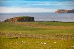 Kustmening met het weiden van schapen Royalty-vrije Stock Foto's
