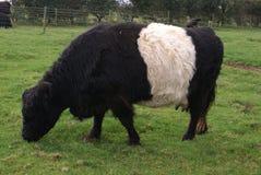 Kuten Galloway nötkreatur eller ko i en jordbruksmark Royaltyfri Foto