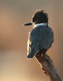 kuten kingfisher Arkivfoton