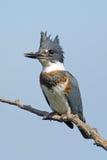 Kuten Kingfisher Arkivbilder