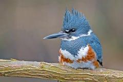 Kuten Kingfisher Fotografering för Bildbyråer