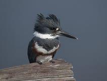 kuten kingfisher Royaltyfria Bilder