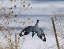 kuten kingfisher Royaltyfri Bild