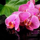 Kuuroordconcept bloeiende takje gestripte violette orchidee Royalty-vrije Stock Foto
