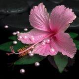 Kuuroordgezondheidszorg van roze hibiscusbloem op groen blad met dalingen Royalty-vrije Stock Fotografie