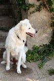 Kuvasz. The Kuvasz is an ancient breed of a livestock dog of Hungarian origin.n Stock Image