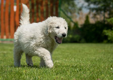 Kuvasz puppy. Very young Hungarian kuvasz puppy Royalty Free Stock Photography