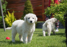 Kuvasz puppy. Very young Hungarian kuvasz puppy Stock Photos