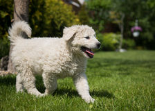 Kuvasz puppy. Very young Hungarian kuvasz puppy Stock Photo