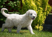 Kuvasz puppy. Very young Hungarian kuvasz puppy Royalty Free Stock Photos