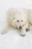 Kuvasz resting Royalty Free Stock Photo