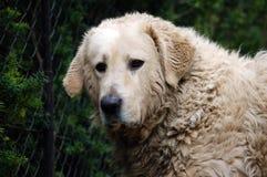 kuvaszstående för smutsig hund royaltyfria bilder