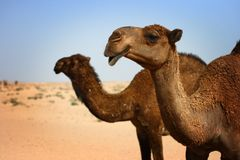 Kuwait: Camels in desert. Two camels posing in a picture taken in the barren desert of Kuwait Stock Images
