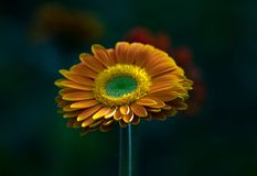 Flowers of yellow green red plant Gerbera stock photography