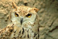 kuwait owl royaltyfri bild