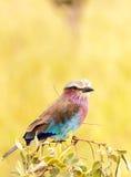 Kuzi, kleurrijke vogel Stock Afbeelding